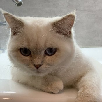 British Shorthair lilac golden shaded point