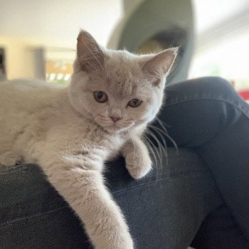 British Shorthair lilac